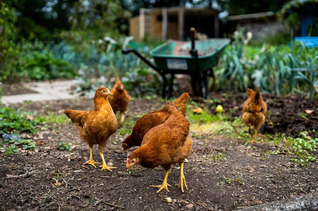 Poules pour un jardin naturel